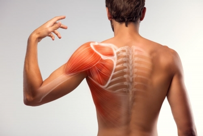 Man view from back. Blades, shoulder and trapezoid illustration